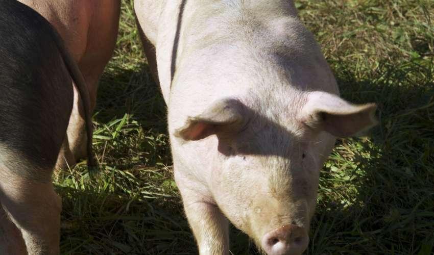 Rinder-und-Schweine-003