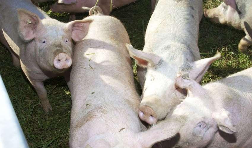 Rinder-und-Schweine-007