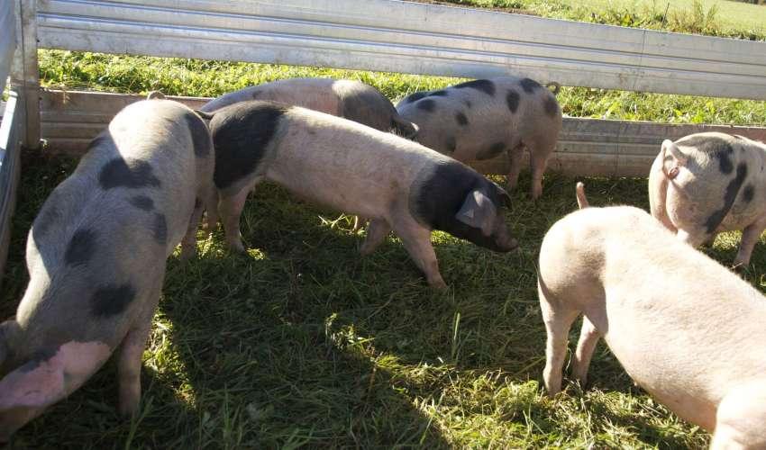 Rinder-und-Schweine-026