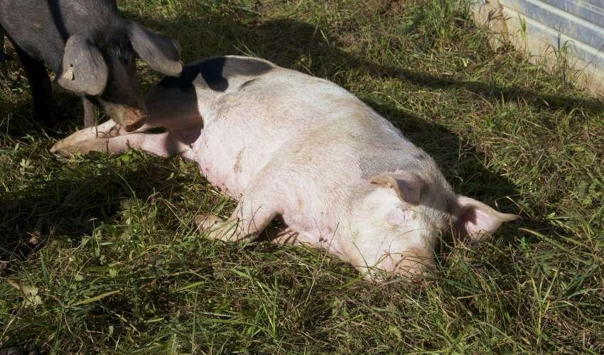 Rinder-und-Schweine-029