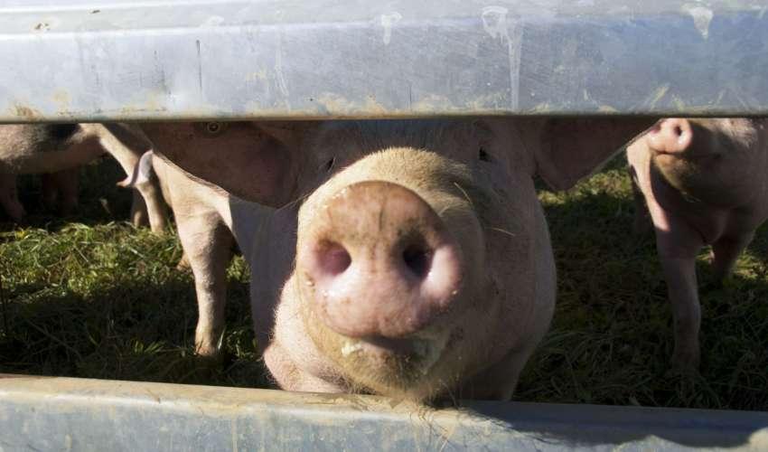 Rinder-und-Schweine-046