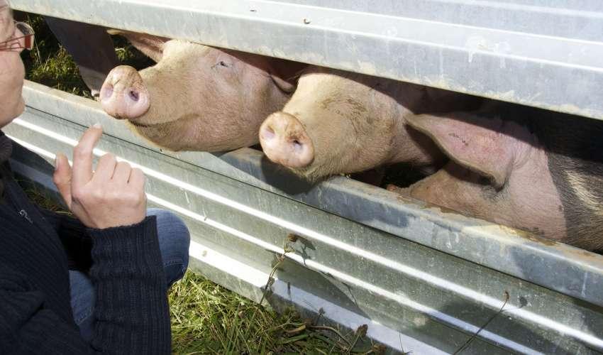 Rinder-und-Schweine-048