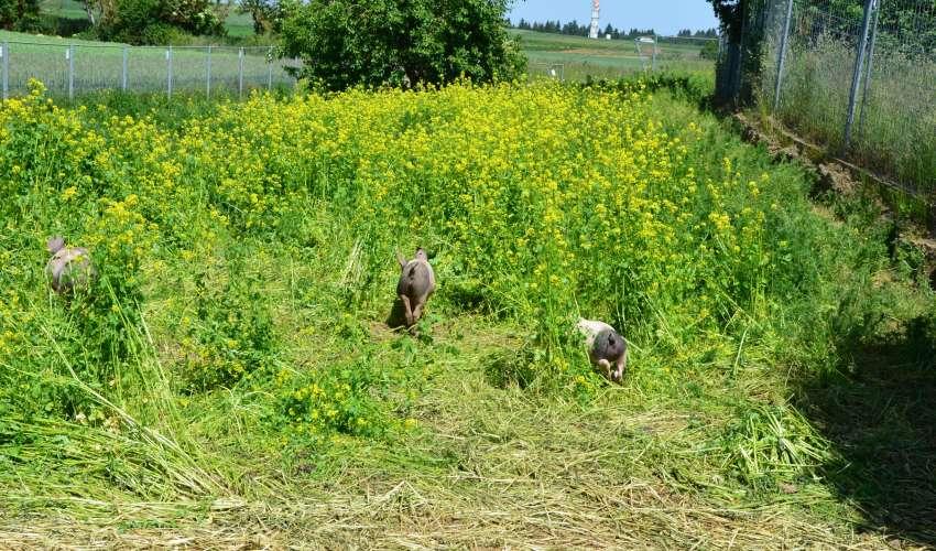 Schweine-auf-der-Weide-001