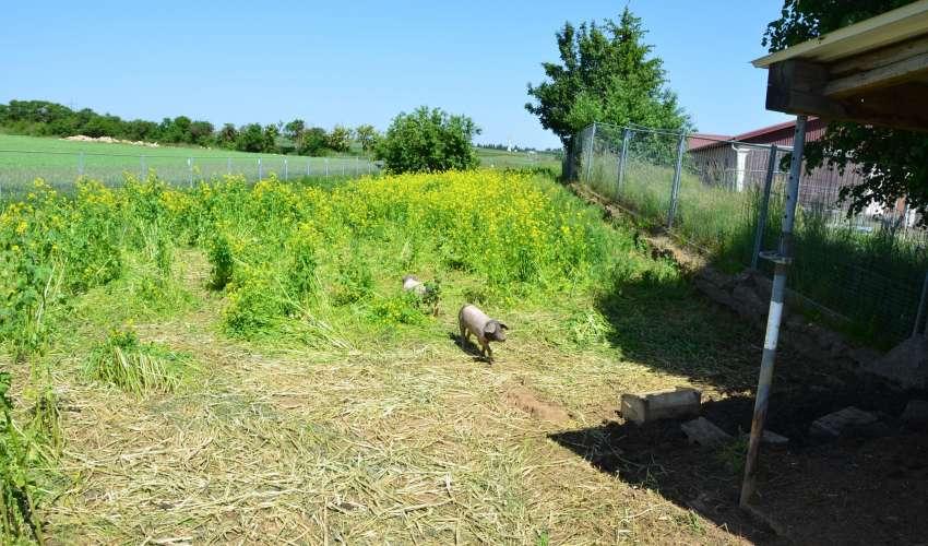 Schweine-auf-der-Weide-003