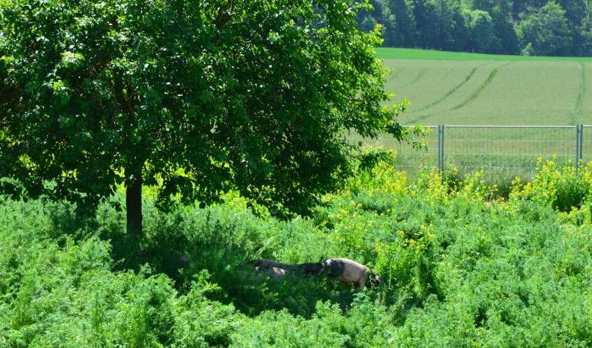 Schweine-auf-der-Weide-004