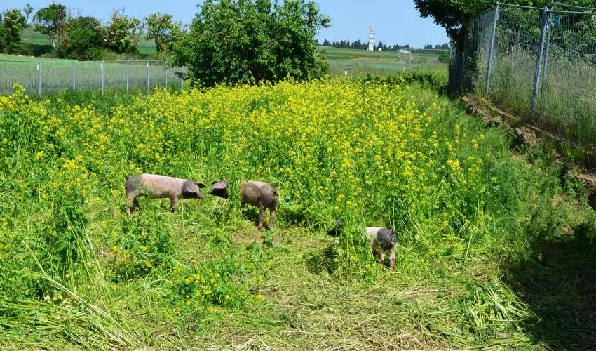 Schweine-auf-der-Weide-007