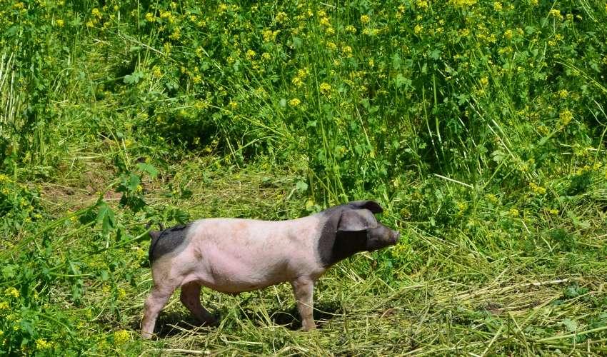 Schweine-auf-der-Weide-011