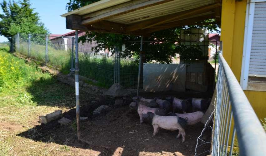 Schweine-auf-der-Weide-014